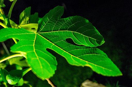 Leaf, Fig, Green, Background, Nature, Tree, Frisch