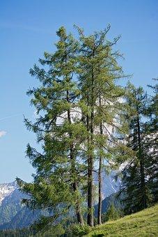 Nature, Trees, Larch, Three Larches, Three Trees, Sky