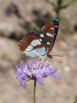 Butterfly, Nymph Streams, Limenitis Reducta