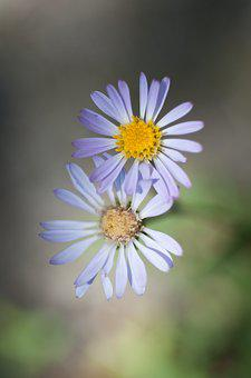 Purple Aster, Flower, Shallow Depth Of Field