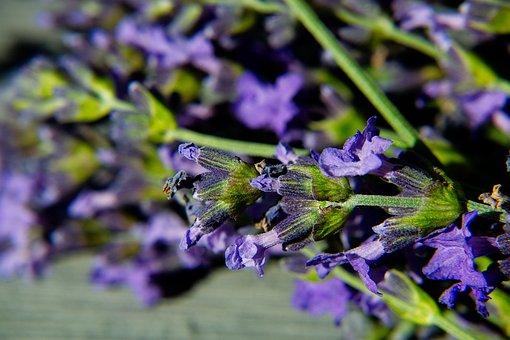 Lavender, Macro, Blossom, Bloom, Purple, Garden, Nature