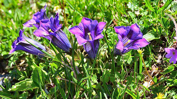 Gentian, Blossom, Bloom, Purple, Flower, Alpine Flower