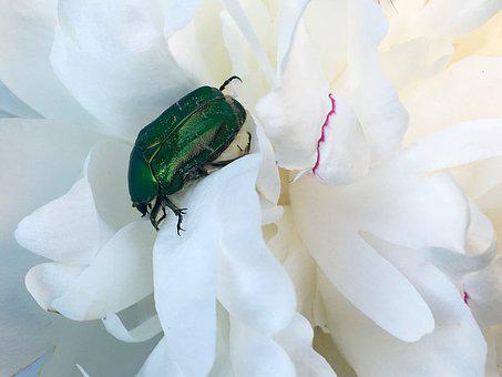 Rose Beetle, Green, Shiny, Insect, Beetle, Nature