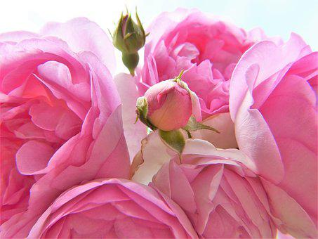 Rose, Pink, Light Pink, Blossom, Bloom, Bud, Close Up