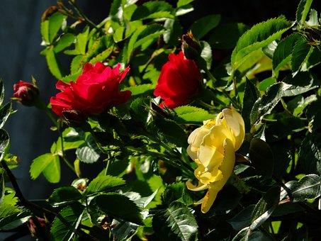 Rose, Wild Rose, Rosebush, Flowers, Garden, Bloom