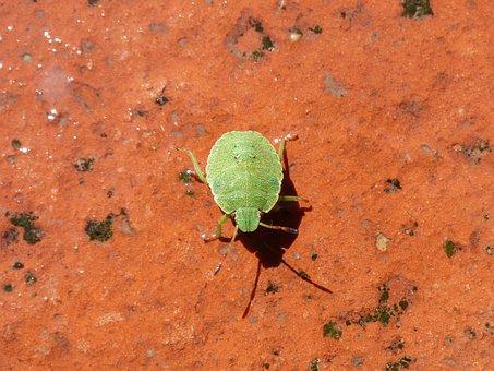 Southern Green, I Pentatomid, Green Prasina, Nymph