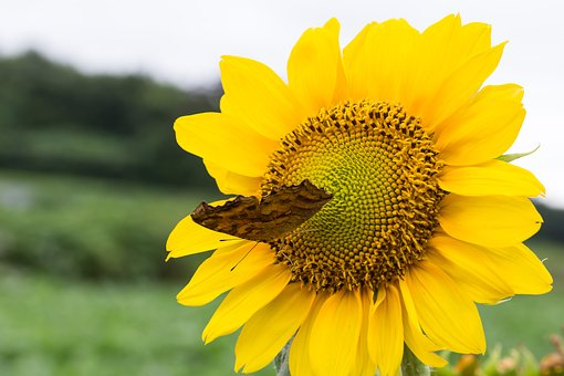 Sunflower, Butterfly, Flowers, Summer, Swelter, Affix
