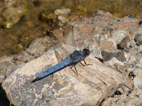 Blue Dragonfly, Rock, Winged Insect, Wetland