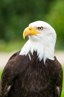 Adler, Eagle Observatory, White Tailed Eagle