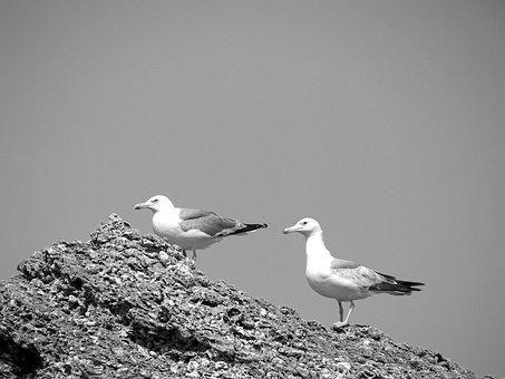 Animals, Birds, Gulls, Andalusia, Spain, Conil