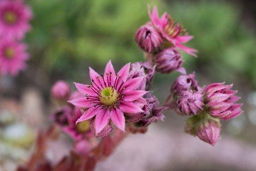 Succulent, Flower, Stone Garden, Garden, Blossom, Bloom