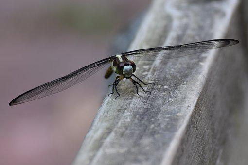Dragon Fly, Insect, Flying Insect, Dragon, Fly, Bug