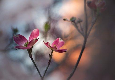 Flower, Dogwood, Plant, Flora, Bud, Petal, Drawing