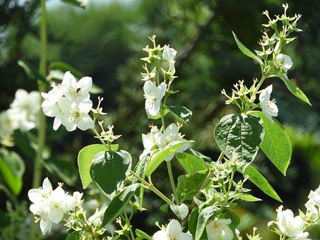 Bloom, Jasmin, Fragrance, Nature, Garden, Sunlight