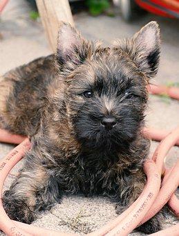 Puppy, Cairn Terrier, Terrier, Garden, Water Hose