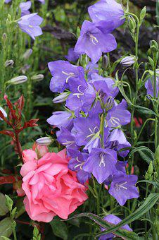 Larkspur, Purple, Pink, Rose, Flowers, Garden