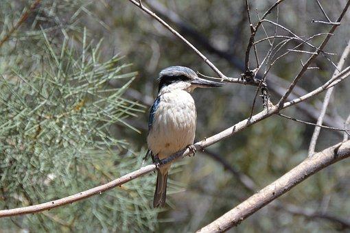 Kingfisher, Kookaburra, Bird, Wildlife