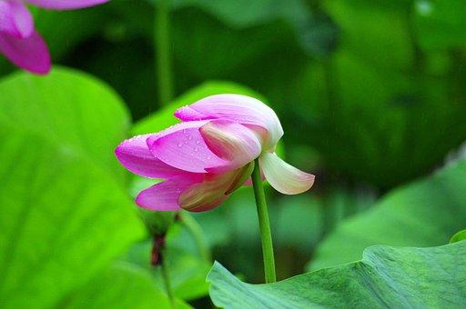 Lotus Flower, Pink, Lotus, Plant