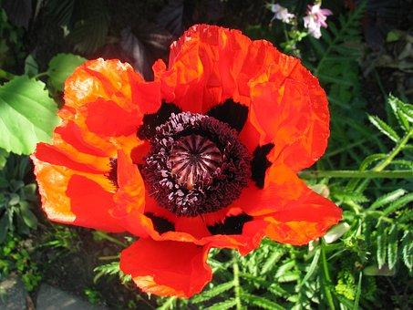 Poppy, Flower, Red, Red Poppy, Poppy Capsule, Blossom