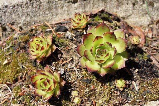 Sedum, Sempervivumväxter, Dry, Plant, Roof, Sempervivum