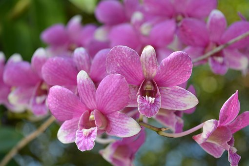 Flowers, Pink, Thai Orchid, Profusion Pink, Tree