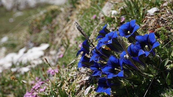 Blue, Alpine, Alpine Flower, Tyrol, Mountains, Nature