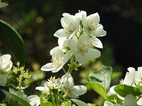 Jasmin, Summer, White, Bloom, Plant, Blossom, Bloom