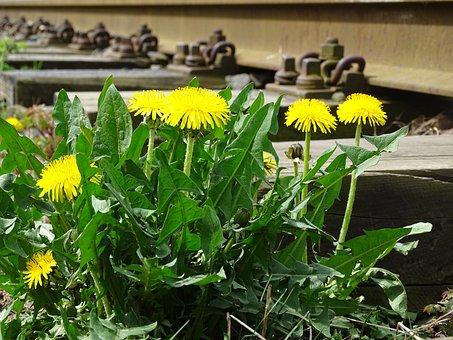 Dandelion, Flower, Yellow, Blossom, Bloom, Nature