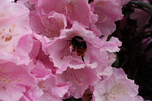 Bee, Bees, Honey Bee, Honeybee, Anthophila, Working Bee