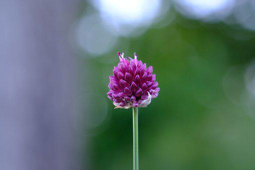Red Clover, Blossom, Bloom, Klee, Nature, Plant, Meadow