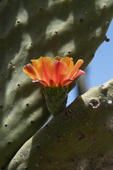 Cactus, Cactus Blossom, Orange, Blossom, Bloom, Close