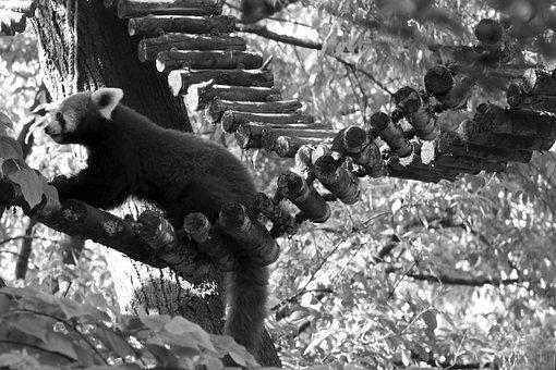 Red Panda, Panda, Bear, Zoo, Animals, Cute, Black