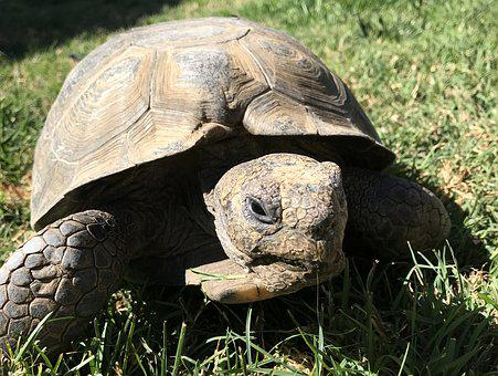 Desert Tortoise, Reptile, Wildlife, Slow, Pet