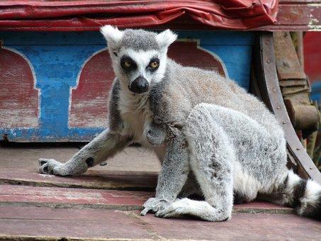 Lemurs, Monkeys, Eyes, Lemur, Zoo, Striped