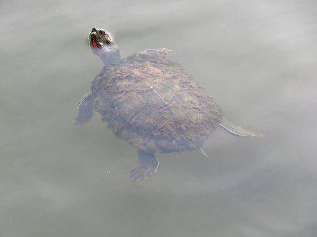 Tortoise, Swimming, Floating, Water