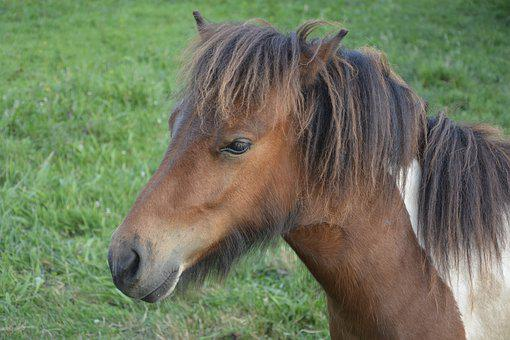 Pony-shetland, Small-horse, Pony, Animals, Foal