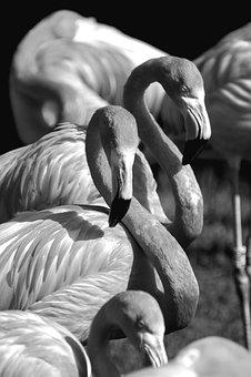 Flamingo, Black, White, Black And White, Grayscale