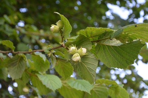 Hazelnuts, Hazel, Leaves, Dried Fruit, Nature, Garden