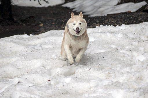 Husky, Dog, Canine, Pet, Companion, Play, Snow, Sled