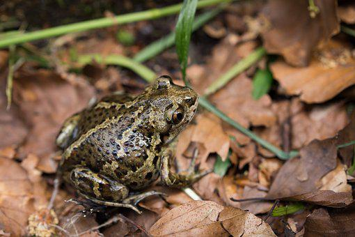 Toad, Forest, Leaves, Autumn, Aquatic Animal, Frog