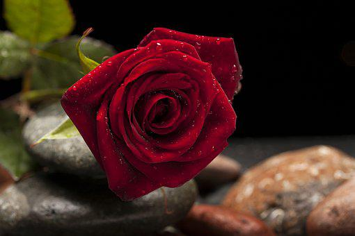 Rose, Red, Flower, Macro, Nature, Close, Red Rose