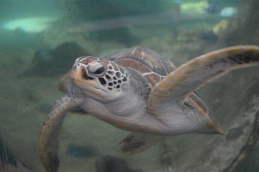 Turtle, Aquarium, Oceanographic Museum, Nha Trang