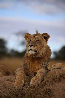 Lion, Grassland, Africa, Wildlife, Nature, Panthera