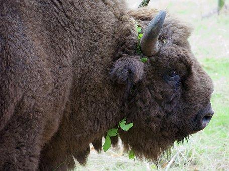 Bison, Buffalo, Wildwood, Kent, Wildlife, Bull, Park