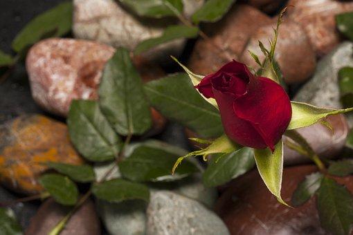Rose, Red, Flower, Macro, Nature, Close, Red Rose