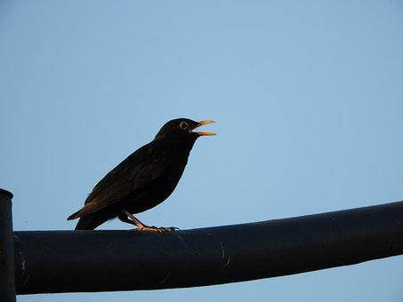 Bird, City, Blackbird, Twitter, Poultry, Birds