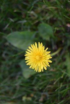 Dandelion, Flower, Weed, Grass