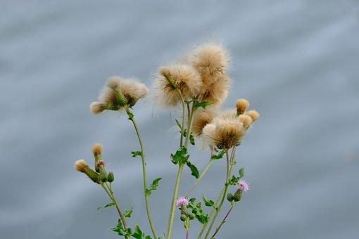 Creeping Thistle, Plant, Wild, Nature, Wild Flower