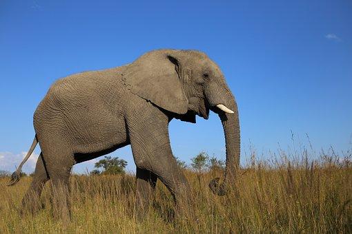 African Elephant, Grassland, Zimbabwe, Ivory