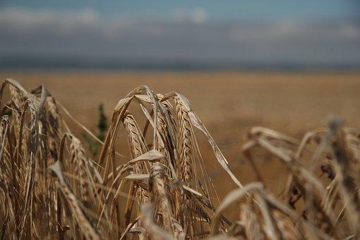 Feld, Weizen, Acker, Bauer, Landwirtschaft, Korn